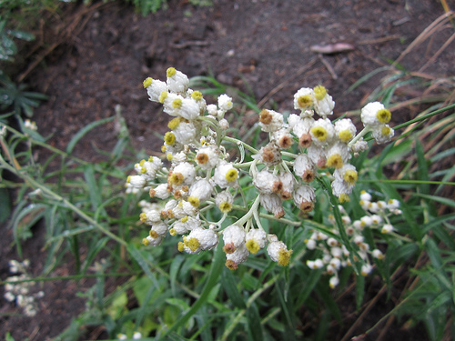 pearly everlasting in rock field